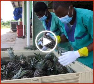 Gosbits Fruits, the ethical snack made in Africa video